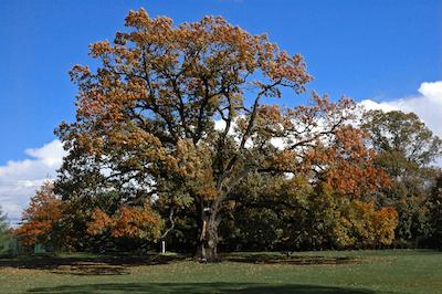 Old_oak_tree_in_Florham_Park_NJ
