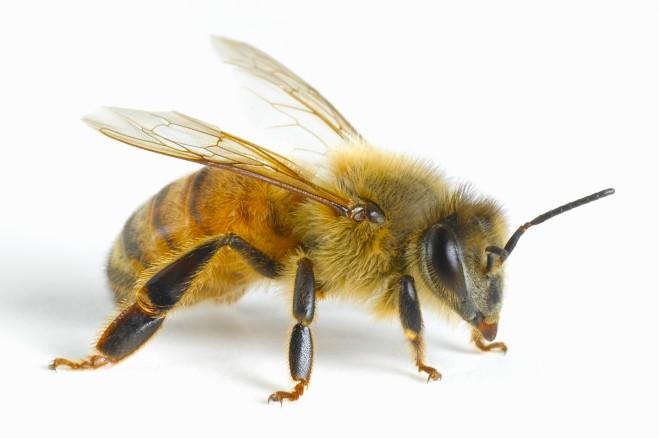 Close-up of honey bee